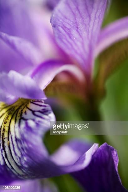 Close-Up of Blue Flag Iris Flower Petals