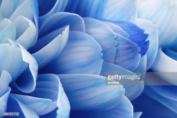 close-up of blue flower petals - 特寫 個照片及圖片檔