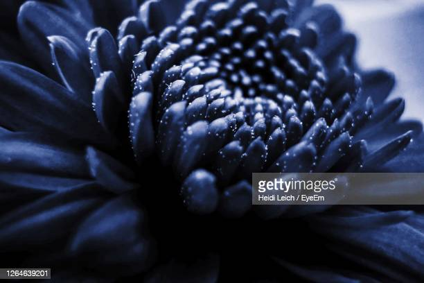 close-up of blue flower - dark blue stock pictures, royalty-free photos & images