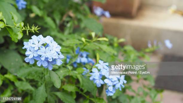 close-up of blue flowering plant - metthapaul stock photos and pictures