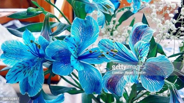 close-up of blue flowers blooming outdoors - alstroemeria stock pictures, royalty-free photos & images