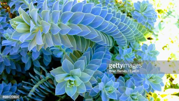 close-up of blue flowers blooming outdoors - succulent stock photos and pictures