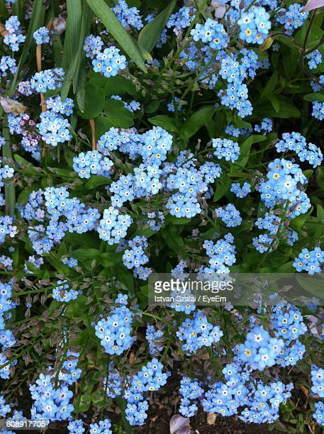 close-up of blue forget-me-not flowers blooming in garden - forget me not stock pictures, royalty-free photos & images
