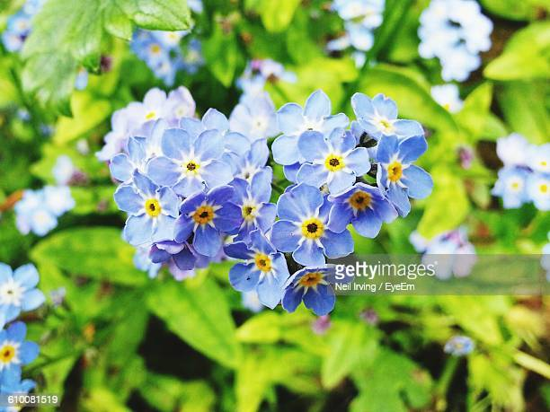 close-up of blue forget-me-not flowers blooming outdoors - forget me not stock pictures, royalty-free photos & images