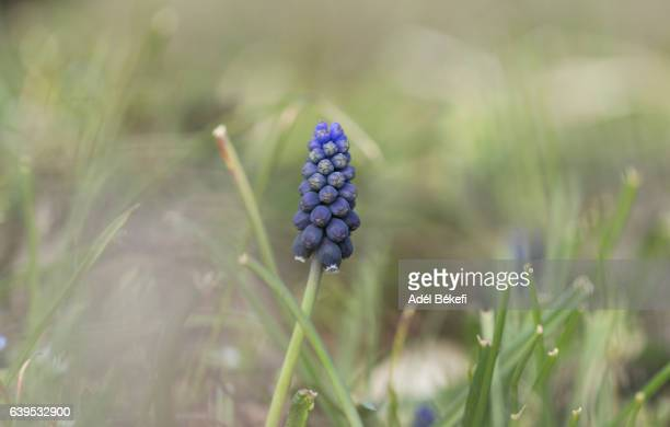 close-up of blue grape hyacinth - muscari armeniacum stock pictures, royalty-free photos & images