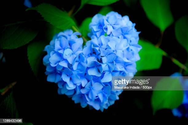 close-up of blue hydrangea flower in shape of heart - nature stock pictures, royalty-free photos & images