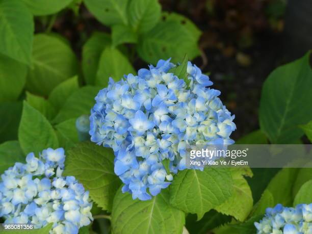close-up of blue hydrangea flowers - lantana stock pictures, royalty-free photos & images
