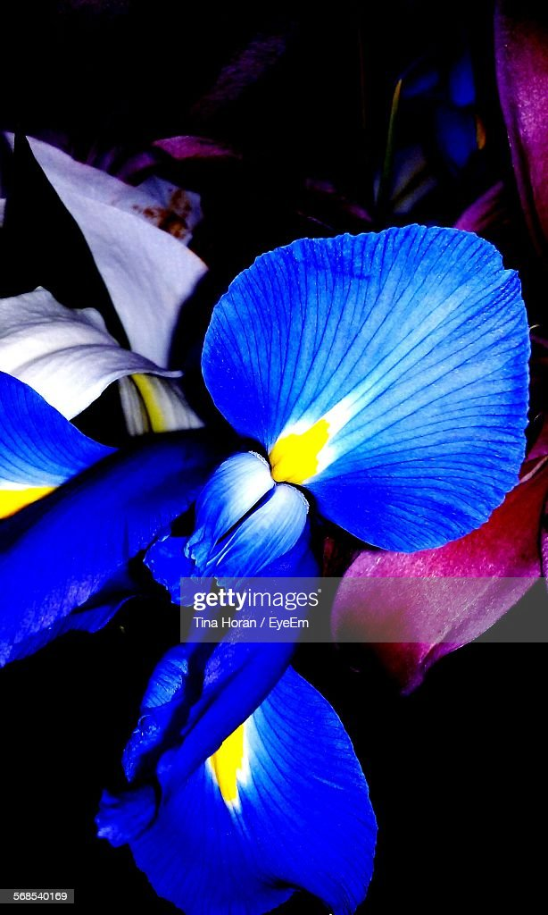 Close-Up Of Blue Iris Blooming Outdoors : Stock Photo