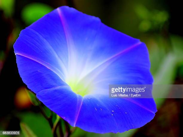 Close-Up Of Blue Morning Glory Blooming In Park