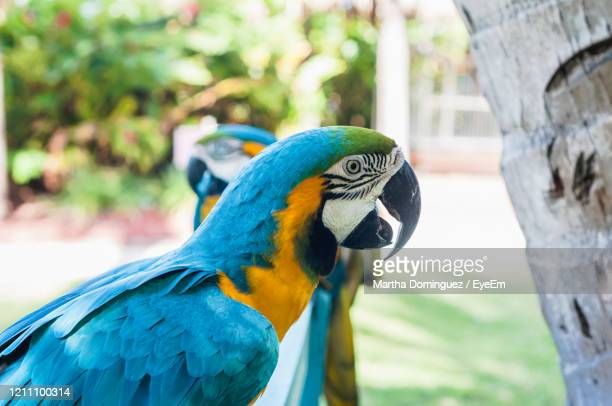 close-up of blue parrot perching on tree - oranjestad stockfoto's en -beelden