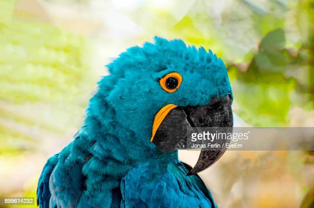 close-up of blue parrot - macaw stock pictures, royalty-free photos & images