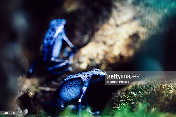 Close-up of blue poison arrow frogs on tree