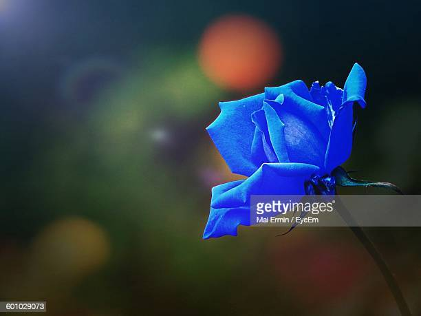 Close-Up Of Blue Rose Blooming Outdoors