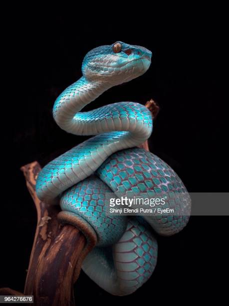close-up of blue snake on branch against black background - rettile foto e immagini stock