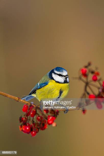 close-up of blue tit perching on a branch - bluetit stock photos and pictures