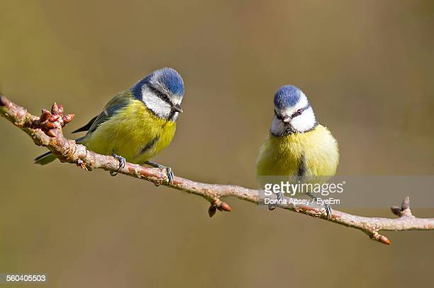 close-up of blue tits perching on twig - singvogel stock-fotos und bilder