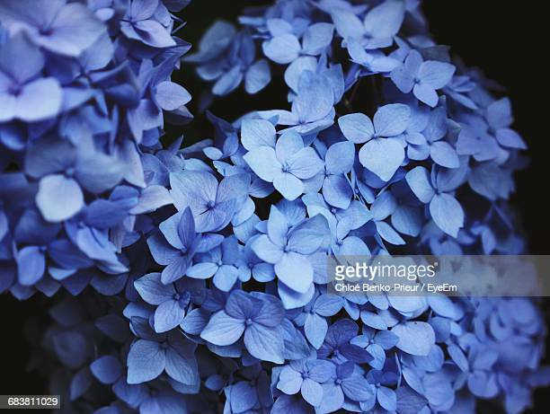 Close-Up Of Blue Wet Hydrangeas Blooming In Park