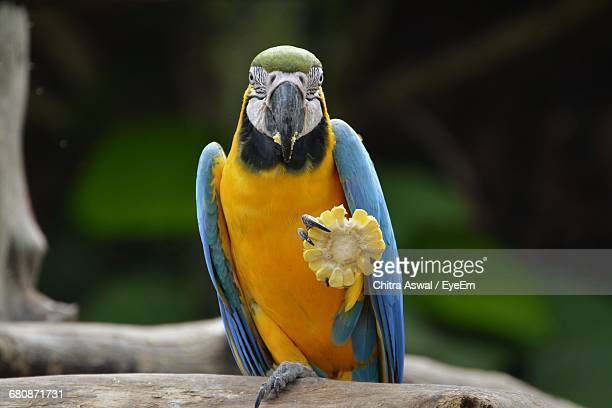 Close-Up Of Blue-And-Yellow Macaw Eating Sweetcorn