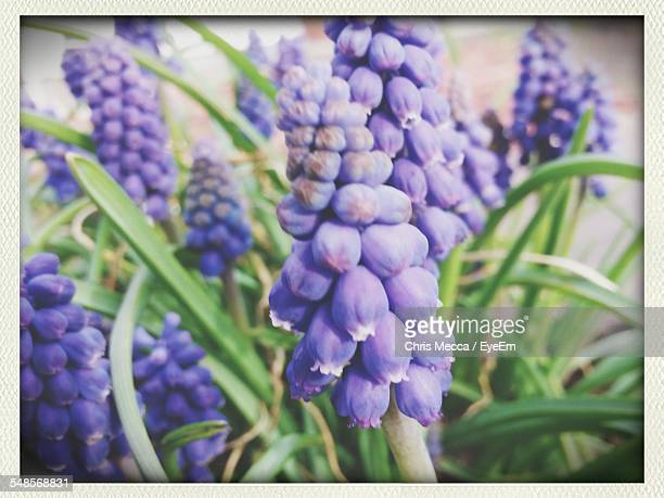 close-up of bluebell flowers growing outdoors - transferbild stock-fotos und bilder