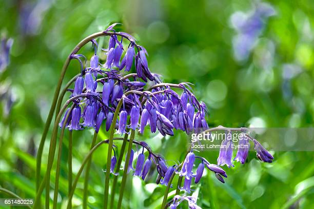 Close-Up Of Bluebells Blooming Outdoors