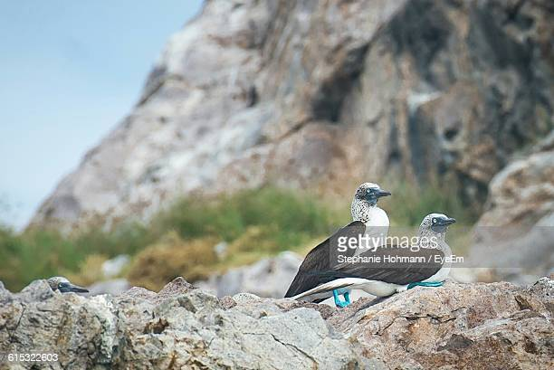 Close-Up Of Blue-Footed Boobies On Rock