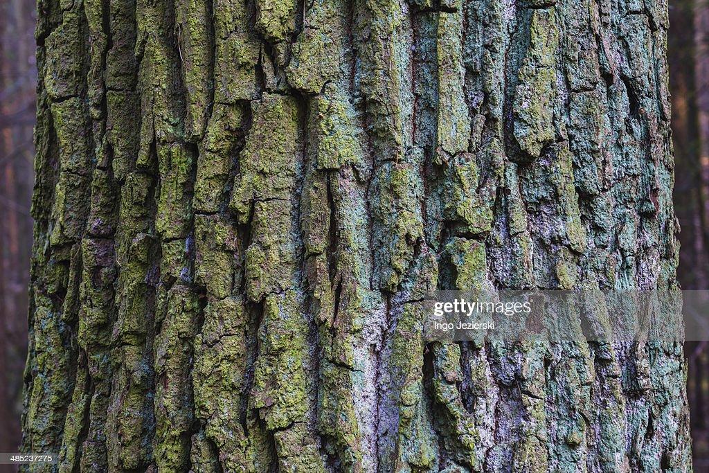 Close-up of blue-green tree bark : Stock Photo