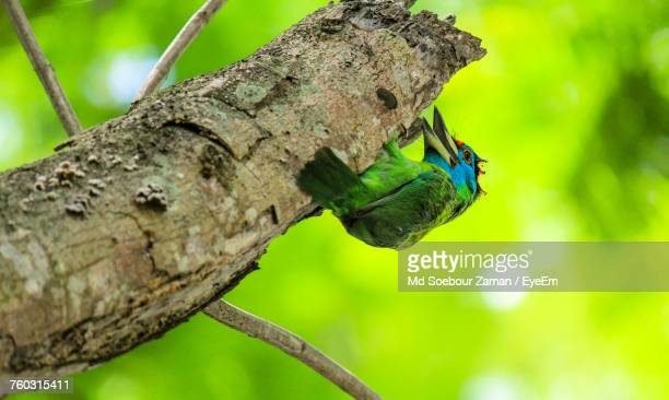 close-up of blue-throated barbet perching on branch outdoors - bangladesh nature stock photos and pictures