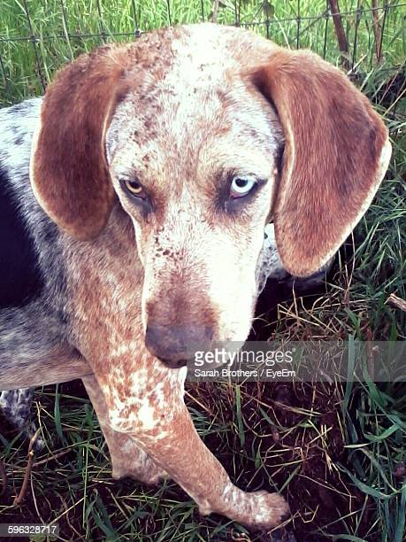 close-up of bluetick coonhound standing on field - coonhound stock pictures, royalty-free photos & images