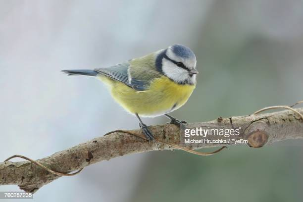 close-up of bluetit perching on branch - michael hruschka stock pictures, royalty-free photos & images