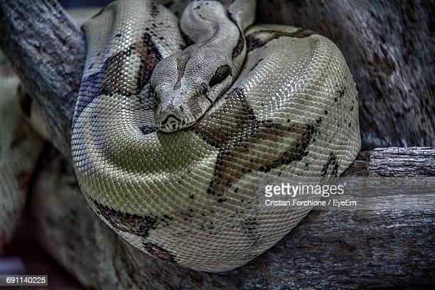 close-up of boa constrictor on branch - boa constrictor stock photos and pictures