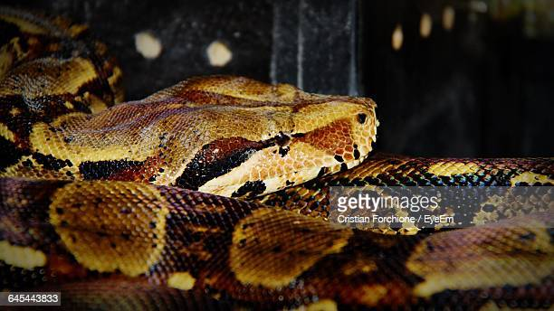 close-up of boa constrictor - boa constrictor stock photos and pictures
