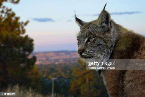 close-up of bobcat against sky during sunset - bobcat stock pictures, royalty-free photos & images