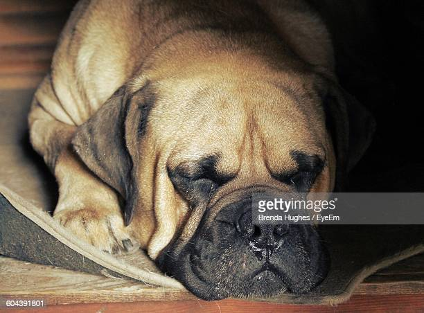 Close-Up Of Boerboel Relaxing On Doormat At Home
