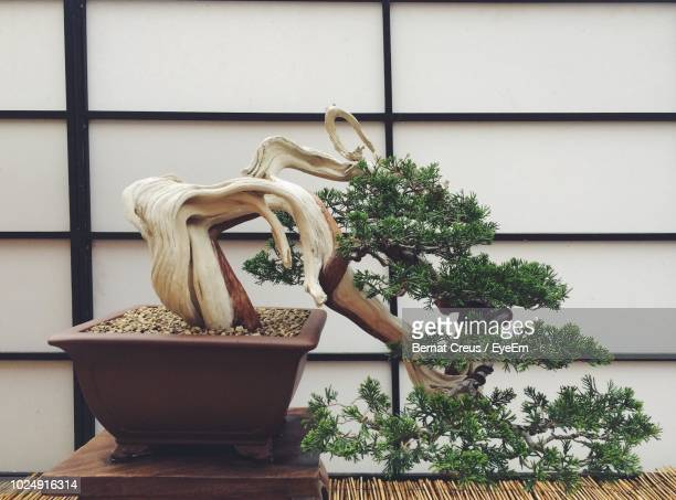 close-up of bonsai tree against wooden wall - bonsai tree stock pictures, royalty-free photos & images
