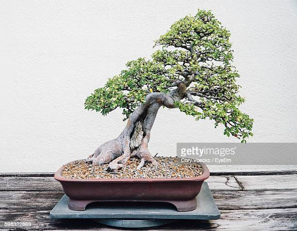 Close-Up Of Bonsai Tree On Table Against Wall
