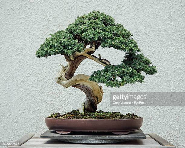 close-up of bonsai tree on table against wall - bonsai tree stock pictures, royalty-free photos & images