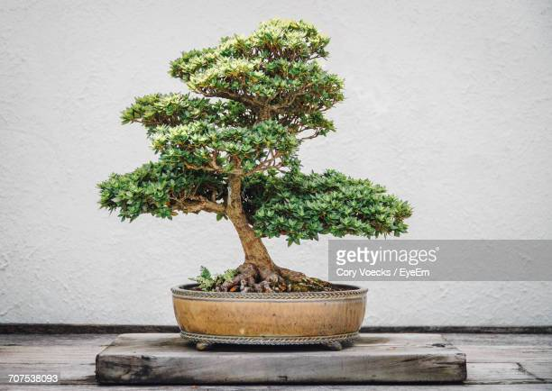 close-up of bonsai tree on wood against wall - bonsai tree stock pictures, royalty-free photos & images