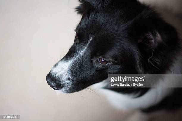 Close-Up Of Border Collie Relaxing On Floor