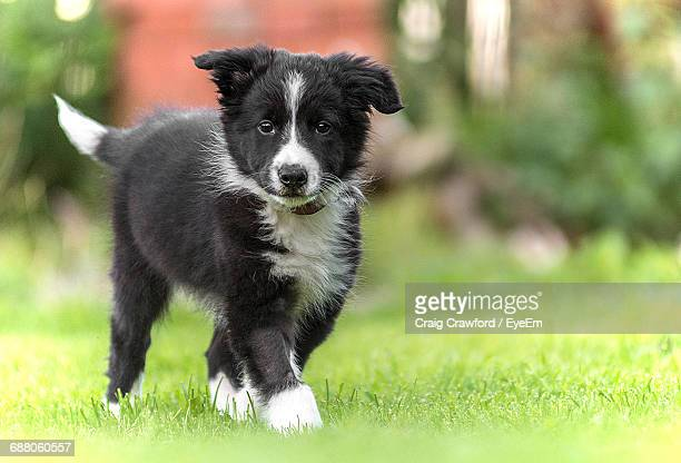 close-up of border collie walking - border collie stock pictures, royalty-free photos & images