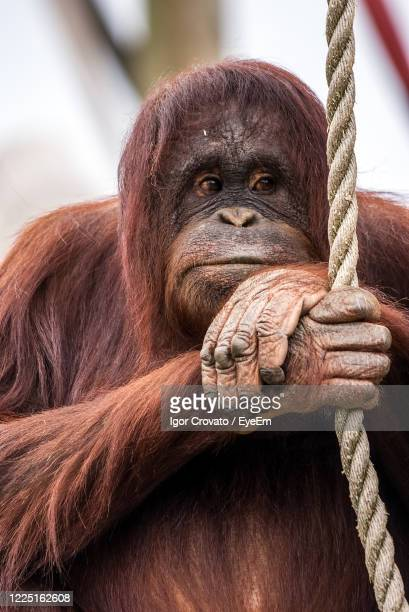 close-up of bornean orangutan on rope - chester zoo stock pictures, royalty-free photos & images