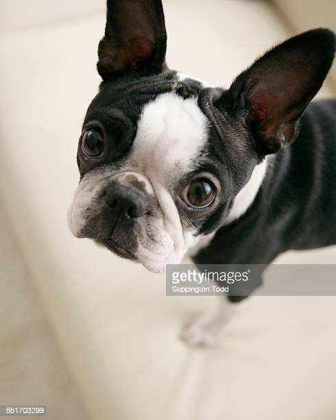 Close-up Of Boston Terrier
