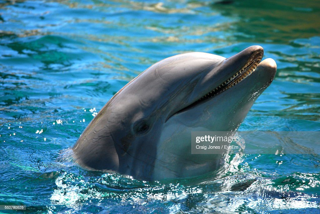 Close-Up Of Bottlenose Dolphin Swimming In Sea : Stock Photo