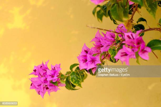 Close-Up Of Bougainvillea Against Yellow Wall