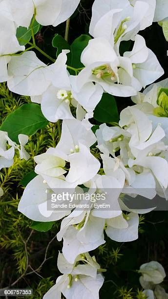 Close-Up Of Bougainvillea Flowers Blooming Outdoors