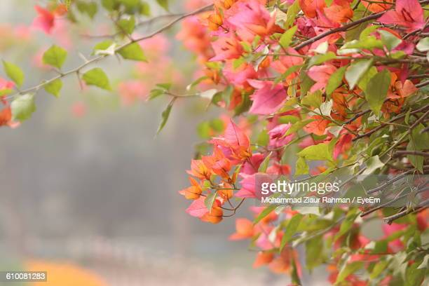 close-up of bougainvillea tree - ziaur rahman stock pictures, royalty-free photos & images