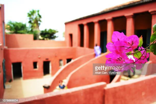 close-up of bougainvilleas blooming against old houses - dakar senegal stock pictures, royalty-free photos & images