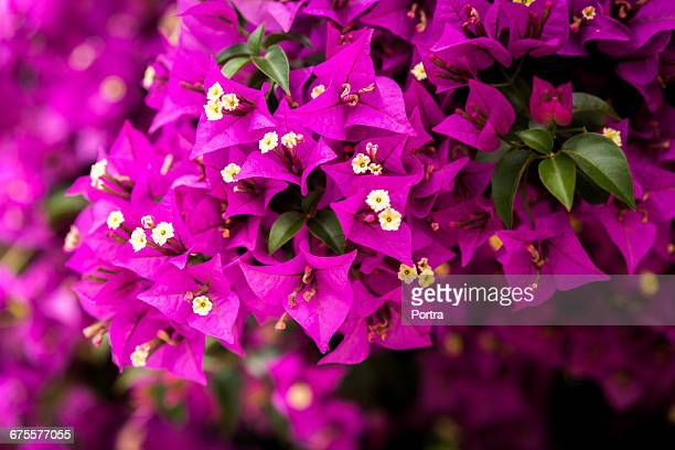 close-up of bougainvilleas blooming outdoors - bougainville stock photos and pictures