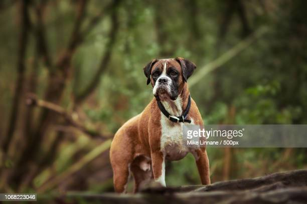 close-up of boxer - boxer dog stock pictures, royalty-free photos & images