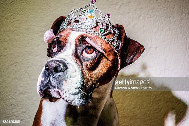 close-up of boxer wearing crown against wall - crown close up stock pictures, royalty-free photos & images