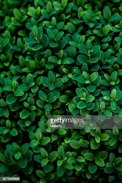 Close-Up Of Boxwood. Plant (Buxus sempervirens). Green leaves.